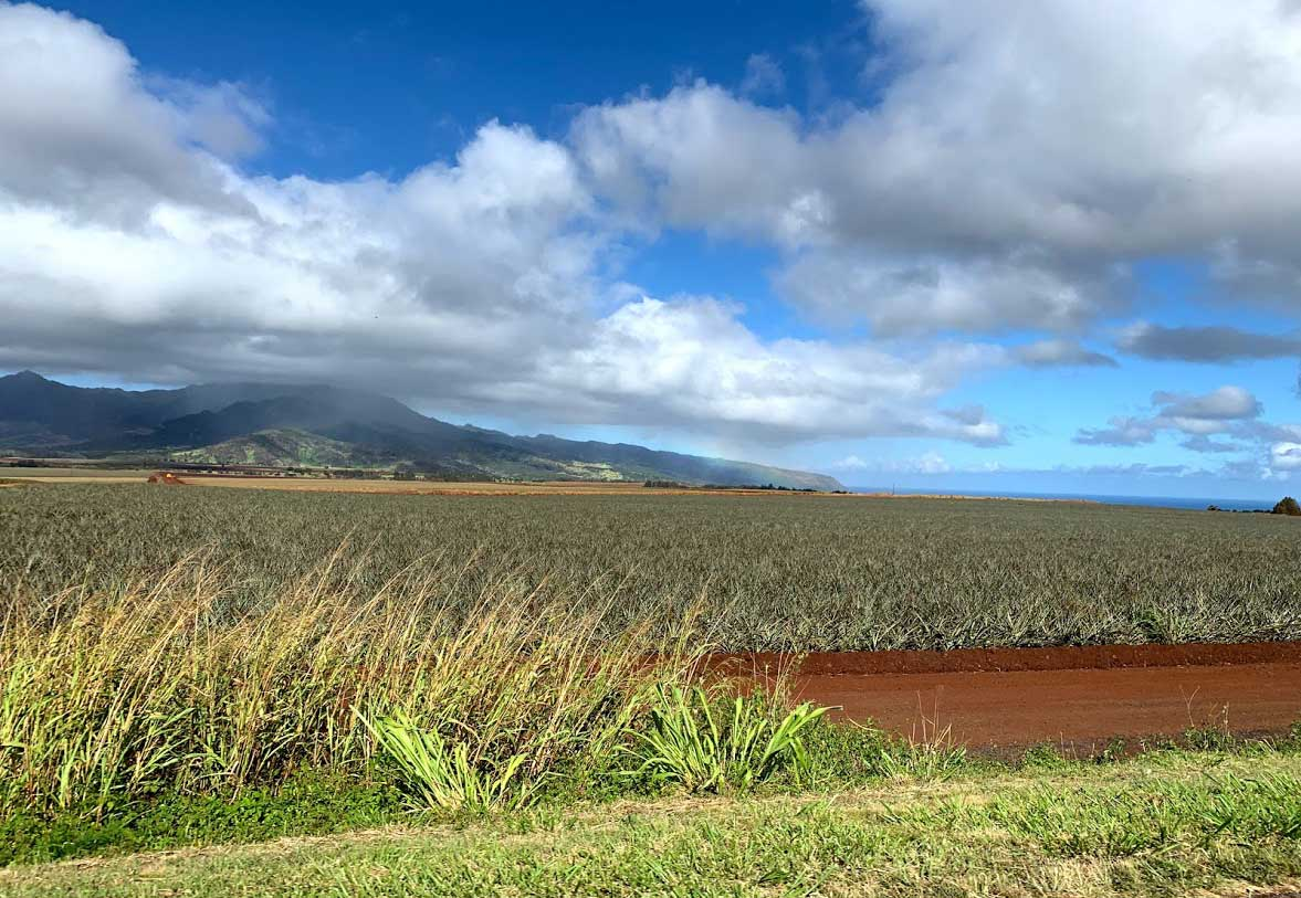 pineapple field at the Dole Plantation in Oahu